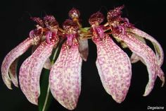 Bulbophyllum longiflorum | Orquidario Virtual