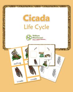 Life Cycle of a Cicada- 3 Part Cards and Life Cycle chart with color illustrations and blacklines too.  {FREE}
