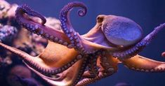 Octopus - The Philosopher's Zone - ABC Radio National Underwater Animals, Underwater Life, Octopus Photography, Animal Photography, Octopus Facts, Octopus Pictures, Giant Pacific Octopus, Beautiful Sea Creatures, Ocean Creatures