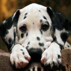 I need a cuddle... Sweet faced Dalmatian Puppy