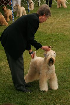 Soft Coated Wheaten Terrier show dog. Terrier Dog Breeds, Wheaten Terrier, I Love Dogs, Cute Dogs, Awesome Dogs, Dog Haircuts, Group Of Dogs, Dog Pin, Lap Dogs