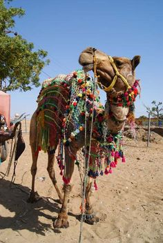 Dressed up Camel in India