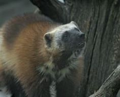 TAKE ACTION to protect wolverines. This is a make-or-break moment for wolverines. Tell the U.S. Fish and Wildlife Service to take steps to help wolverines make their comeback. Please SIGN and share this action. Thanks.