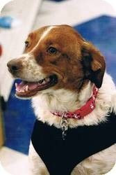 Davenport, IA - #Brittany / #Pointer Mix. Meet Lucy a #Dog for #Adoption.  #rescue #spaniel #retriever #petfinder #adoptapet #puppy #mix #mutt   Hi, Everypuppy! My new name is Lucy and I like it! I am told that I am a very good girl! I am a mix of Brittany Spaniel, and maybe Lab or Pointer, but one thing is for sure...I love everyone!