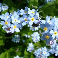 British Flowers, Forget Me Not, Flower Images, Plants, Button, Tattoos, Tatuajes, Tattoo, Plant