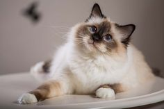 """The Birman cat is one of the more rare cat breeds in the U.S. but it's becoming more popular among pet owners as they are found in shelters. The Birman cat breed is a domesticated cat breed, originating from Burma – it's even called """"The Sacred Cat of Burma"""". #cat #breeds #birman"""