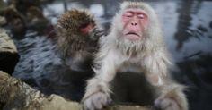 Macacos da neve relaxam em águas termais no Japão - Fotos - UOL Notícias