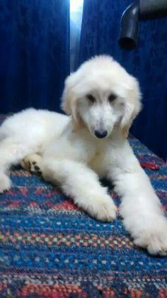 Baby Afghan hound puppy
