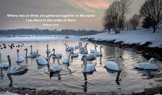 A bevy (group) of swans resting on a lake at the end of a winter day in Slovenia.  Photo by Marjan Laznik, Maribor, Slovenia.