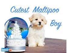 Sweetest Puppy - MALTIPOO - Apricot Boy - Our handsome MaltiPoo Boy Puppy named Kellen is the sweetest little guy. Loves to play, very healthy, UTD on vaccines & dewormings. Boy Puppy Names, Maltipoo Puppies For Sale, Huntington Beach California, Toy Dog Breeds, Guy, Handsome, Healthy, Sweet, Dogs