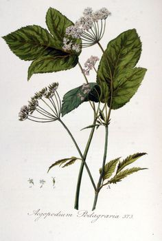 Zevenblad - Aegopodium podagraria