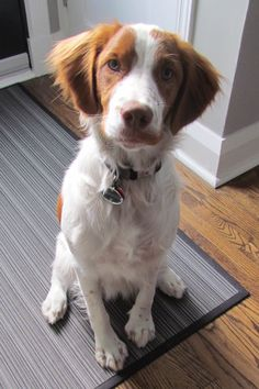 """This is my handsome boy """"ARCHIE""""; a name inspired by the comic book character and his red freckles. He's a pure bread Brittany Spaniel from www.Attaboy.ca Kennels in Thorndale ON, Canada."""
