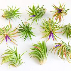 Two Air Plants. Tillandsia Mexican Fuego Pack by TierraSolStudio Air Plants Care, All Plants, Types Of Plants, Plant Care, Indoor Plants, House Plants, Epiphyte, Marimo, Eco Friendly Paper