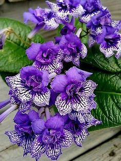 Streptocarpus/ cape primrose/ african violet/ house plant/ lost name / in bloom – House Plants Unusual Plants, Exotic Plants, Exotic Flowers, Amazing Flowers, Beautiful Flowers, Purple Orchids, Purple Flowers, Outdoor Plants, Garden Plants