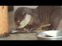 Otter pup isn't quite sure yet how to eat a fish - June 10, 2012