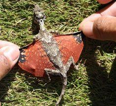 Minúsculo Flying Dragon. Uma espécie de delta lagarto, parece um dragão em miniatura.