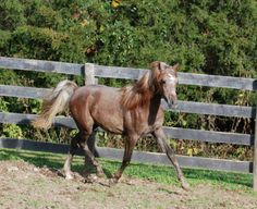 Mishaals Asil Nadir 2014 Chestnut Stallion (Ramses Mishaal Nadir x WF Asileh) Arabian Horses For Sale, Egyptian, Animals, Hamsa, Animales, Animaux, Animal, Animais