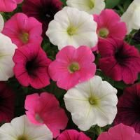 Petunia Seeds For Sale Shock Wave Power Mix 100 Bulk Seeds Trailing Petunias, Easy Waves, Perennial Vegetables, Shock Wave, Seeds For Sale, Ornamental Grasses, Flower Seeds, Hanging Baskets, Colorful Flowers