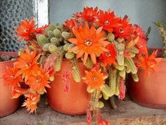 Bellisimas flores de cactus