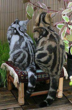 marbled stripes British shorthairs