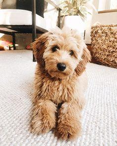 #miniaturelabradoodle hashtag on Instagram • Photos and Videos Miniature Labradoodle, Miniatures, Puppies, Photo And Video, Videos, Dogs, Photos, Animals, Instagram