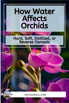 What's Best? Hard, Soft, or Distilled Water for Orchids? Phalaenopsis Orchid Care, Orchid Plant Care, Orchid Plants, Air Plants, Garden Plants, Indoor Plants, Orchids In Water, Indoor Orchids, Types Of Orchids
