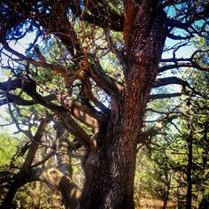 An ancient female alligator juniper tree (Juniperus deppeana) reigning over a mountaintop at 7,500 feet in rural Arizona. ••• Photo art, paintbrush effects.