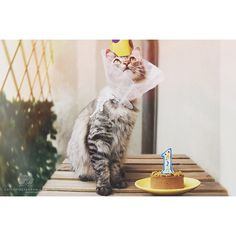 """From @100percent_sheldon: """"Looking gorgeous on my First Birthday Party!"""" #catsofinstagram [source: http://ift.tt/1zZktdz?utm_content=buffer1edf6&utm_medium=social&utm_source=pinterest.com&utm_campaign=buffer ] http://catsofinstagram.com/post/118839565298/from-100percent-sheldon-looking-gorgeous-on-my?utm_content=bufferb495f&utm_medium=social&utm_source=pinterest.com&utm_campaign=buffer#.VVPy7M7FvVo"""