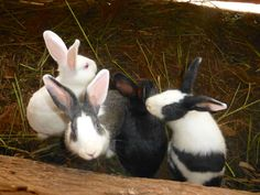 Togetherness Co-op is raising rabbits for sale as meat. Let's not think about that part. BUNNIES!