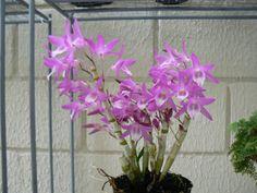 Dendrobium violeta