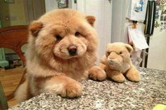 When this lil' lion dog posed with his best buddy.   29 Of The Fluffiest Things That Happened In 2015