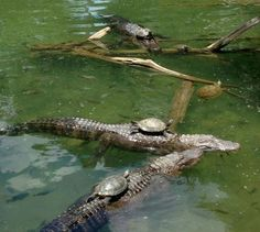 """The turtle cavalry is serious shit  """"Onward, alligator steed!"""" """"I'm a crocodile."""" """"Silence, water horse!""""  The one in the back looks like it's wearing a turtle for a hat"""