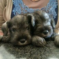 Gumtree Miniature Salt And Pepper Schnauzers In 2020 Dogs Dog Hotel Miniature Schnauzer Black