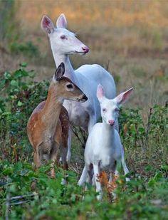 Rare Albino White-tailed Deer of Boulder Junction Wisconsin - lifeinthenorthwoods