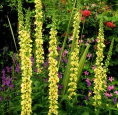 Mullein. Protection from nightmares & sorcery, courage, cursing, and invoking spirits.  Place beneath pillow or use in dream pillow to guard against nightmares.  Carry to instill courage and help attract love from the opposite sex.  Use in place of graveyard dust in spells.  Wear to keep wild animals at bay in unfamiliar areas.  Burn to banish bad influences and bring an immediate halt to bad habits.