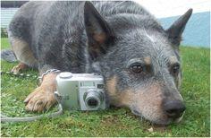 benji Australian cattle dog   Pawshake Strathern