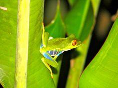 Glühend rote Augen des Baum-Frosches starrten uns bei einer Nachtwanderung aus den Blättern eines Baumes heraus an.