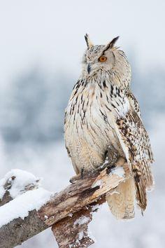 ⊙_⊙corujas - Siberian Eagle Owl by Milan Zygmunt on Beautiful Owl, Animals Beautiful, Cute Animals, Simply Beautiful, Owl Photos, Owl Pictures, Funny Owls, Owl Bird, Tier Fotos