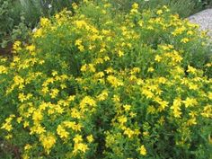 St. Johns Wort - This herb has many amazing health benefits. It is known for it's ability to treat depression, obsessive compulsive disorder and anxiety.