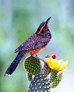 The Cactus Wren - Campylorhynchus brunneicapillus, is a species of wren that is native to the southwestern United States to central Mexico. AZ State Bird.