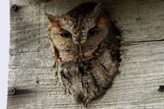 Tips for attracting backyard owls by meeting their basic needs for food, water, shelter and nesting sites.