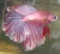 Resultado de imagem para peixes bettas fotos