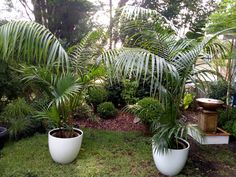 Large kentia palms