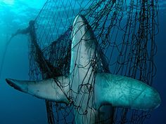 Shark caught in a net © Brian J. Skerry/National Geographic