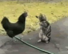 Poor chicken. The cat is slapping her silly.....