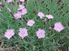 """Easily grown in average, medium, well-drained soil in full sun. Prefers slightly alkaline soils. Tolerates heat and humidity ome drought, better than most other species of Dianthus. Remove spent flowers to promote continued bloom.  Full sun,   Fragrant, trouble free. ringed and fragrant, star-like, soft pink, 1"""" diameter flowers singly atop wiry stems (to 10"""" tall) from mounds of grassy, blue-green foliage. Blooms in late spring with some repeat bloom in summer."""