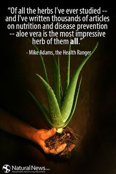 """Of all the herbs I've ever studied -- and I've written thousands of articles on nutrition and disease prevention -- aloe vera is the most impressive herb of them all."" ~ Mike Adams, the Health Ranger For larger graphic, see: http://www.naturalnews.com/Quote-Aloe-Vera-Most-Impressive-Herb-Mike-Adams.html"