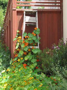 nasturtiums climb an old ladder in the garden...I have some trellises that I will plant nasturtiums around - (perennials)