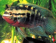 Laetacara Dorsiger - An easy tempered dwarf cichlid for the community tank