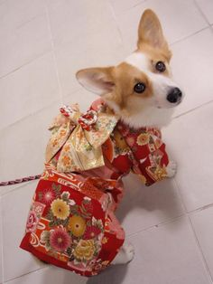 So cute! Corgi kimono! WOuldn't normally condone dog clothes, but wow thats so cute!